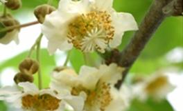 キウイフルーツの性別決定遺伝子を特定-京都大・香川大共同研究-