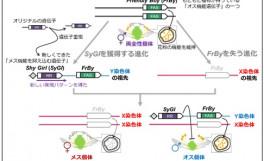 キウイフルーツにおける性別獲得進化過程の解明